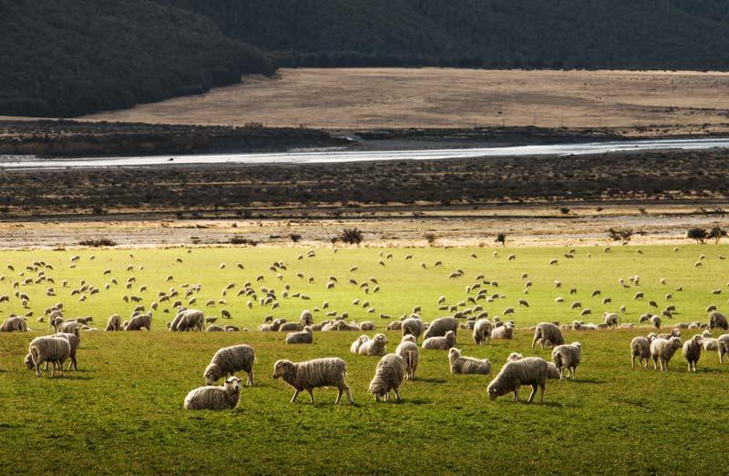 Pecore Merino al pascolo